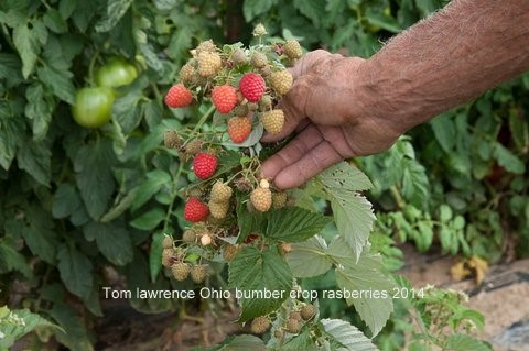 Raspberries - Bumper Crop